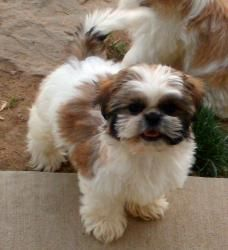 Poppy is an adoptable Shih Tzu Dog in Pickerington, OH. Meet Poppy, an adorable Shih Tzu mix who couldn't be sweeter.  He loves to play and will keep you entertained for hours!! Poppy, Shih Tzu, 1 yea...