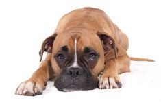 boxer dog photo | Boxer Dog, wallpaper, Boxer Dog hd wallpaper, background desktop