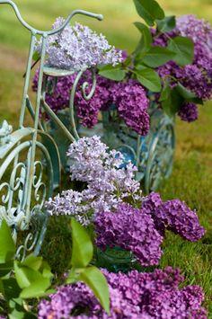 Syringa vulgaris ~Common Lilac, in bicycle garden basket