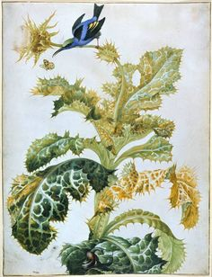 Maria Sibylla Merian | [ Lost in the Landscape ] A blue honey creeper on a this­tle ... snails below (behavior censored since I've recently had a sculptured removed for nudity!)