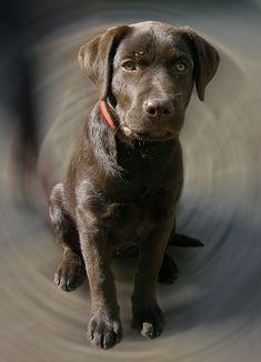 anim, chocol labrador, chocolates, dog heaven, chocolate labs, cocoa, puppi, flower, treat