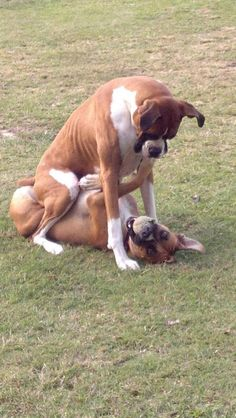 """""""I will let you up AFTER you spit the ball out."""" #boxer #dog"""