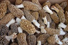It's time to start thinking morels!