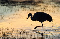 Jack Dykinga photo of a Sandhill Crane bird in silhouette
