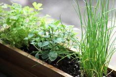 Shade-tolerant herbs to grow inside.