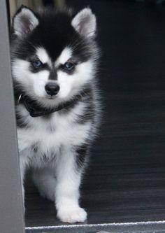 Alaskan Klee Kai Puppy (mini husky). #dog #husky #animal
