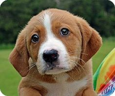 Cotton is a 7 week old male Lab. mix in Searcy, AR. He is a sweet little boy that has lots of growing to do. Cotton would like his new forever home to have a safe fenced yard to play in. Contact The Humane Society of Searcy @ 501-268-3535 or hss@cablelynx.com.