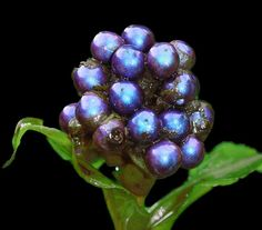 The head of the 1ft 6in high Pollia condensata plant that ranges from Ethiopia to Angola and Mozambique, which scientists today revealed as the most colourful plant ever seen. Pollia condensata's vivid sparkle comes from the interaction of light with its skin, which contains layers of microscopic cellulose fibers. The effect is a metallic blue brighter than any yet described in a biological material.