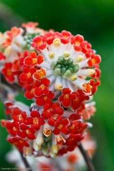 Edgeworthia chrysantha 'Akebono' ('Red Dragon')   Flickr - Photo Sharing!