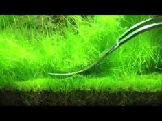 hair grass, grass eleochari, trim hair, eleochari aciculari, aquascap refer