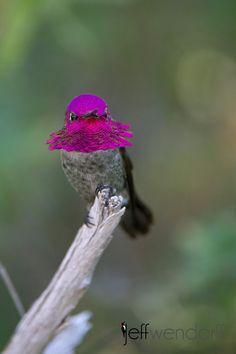 Costa's Hummingbird, Amazing World beautiful amazing