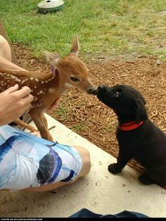 Lab and deer checking out each other
