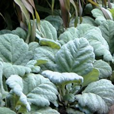 Silver Sage Artemis is a truly low-maintenance plant, tolerating heat and drought beautifully!