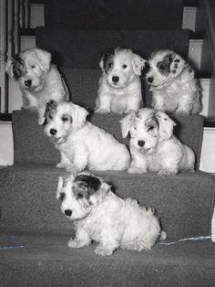 Sealyham Terrier Puppy Dog