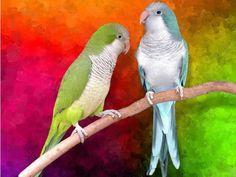 green and blue quaker parrots