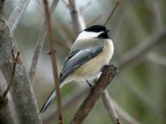 Chickadee at my bird feeder