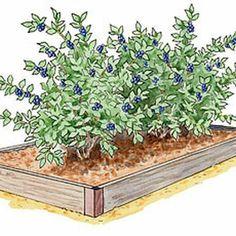 Growing Berries and Asparagus in Raised Beds, Blueberries, Strawberries, Rhubarb, Raspberries: Gardener's Supply