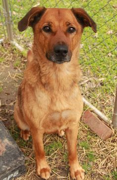 Rav - Labrador Retriever • Adult • Female • Large  Fayette County Animal Rescue Rossville, TN  An out of town trucker had stopped in Fayette County & saw Rav hanging around a truck stop. They could tell that she was malnourished & needed help. They immediately started making calls & contacting people on Facebook, even people who were out of town, to try & help the beautiful dog they saw. We were finally contacted & one of our volunteers raced out to the truck stop. She had a hard time catching..