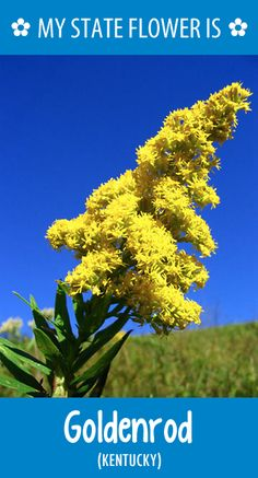 #Kentucky's state flower is the Goldenrod. What's your state flower? http://pinterest.com/hometalk/hometalk-state-flowers/