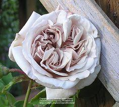 Rose (Rosa 'Ash Wednesday') uploaded by zuzu