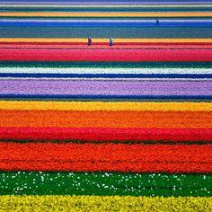 Segun en Internet se lee que Campos de Tulipanes, Holanda.Encontrados por toda Holanda, siete millones de tulipanes florecen anualmente en Keukenhof, el parque floral más grande del mundo, así como en los campos de tulipanes de Bollenstreek, que atraen a cientos de miles de amantes de las flores todos los años.