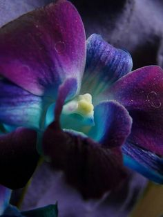 Teal purple Orchid