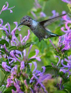 Humming Bird in Purple Flowers
