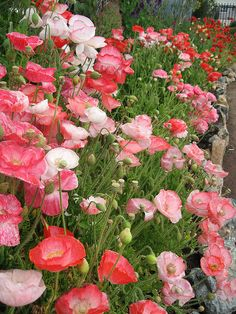 Mixed colors of poppies!
