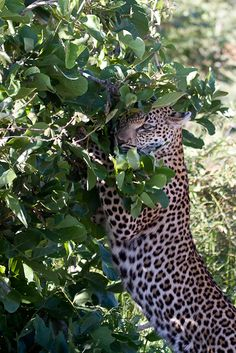 Nthombi's young male
