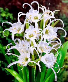Spider Lily (Hymenocallis x festalis 'Zwanenburg') White blooms July through August. Full sun/part shade zones 8-10