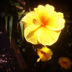 Cabarete, Dominican Republic -  Most people are used to seeing a red hibiscus flower, but did you know there are yellow ones, too? Via Google+