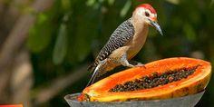 Birds of Ambergris Caye, Belize
