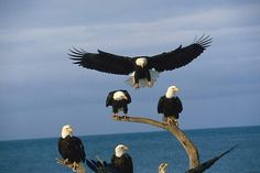 Witnessing Bald Eagle migration firsthand