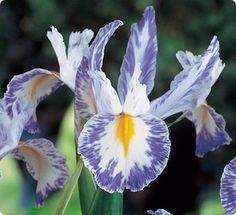 Dutch Iris Delft Blue