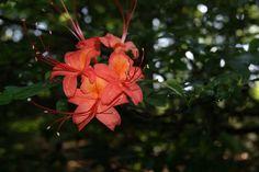 If you aren't close to Callaway Gardens in GA, then visit the EJC Arboretum at JMU in Harrisonburg, VA. We have summer blooming azalea too!