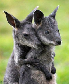 Baby Wallabies.