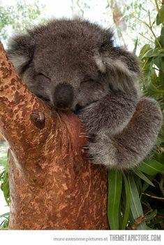Sleepy baby koala…