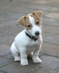 Adorable terrier pup!!!!