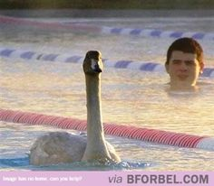 Swanning To Victory…