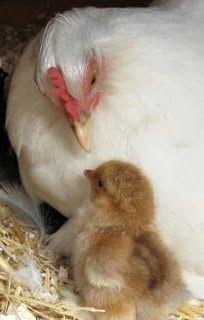 Mother Hen...