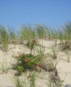 Manasquan Beach Dunes