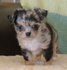 Lineals chihuahuas past present and puppies