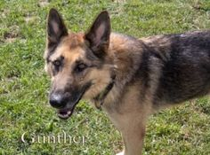 Gunther is an adoptable German Shepherd Dog Dog in Mason, MI. Gunther is an older German Shepherd Dog. He is a mature fellow, and would prefer to be in a calm home. He does well with other dogs, but w...