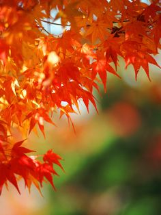 Within the huge family of Japanese maples, there are tons of possibilities for gorgeous fall foliage color, from lacy-leaf shrubs to statuesque trees.