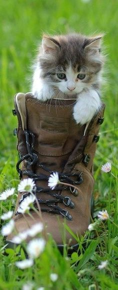 kitten, cat, leather boots, pet, old shoes, leather shoes, new shoes, combat boots