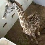 Giraffe Birth Slated Live on EarthCam.com!