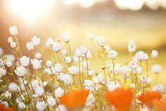 Evening sun beats, summer flowers, white flowers, field flowers, daisi, beauty, poppi, light, little flowers