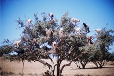 Goats in trees!  Gotta love it!