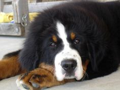 Love bernese mountain dogs