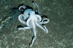 Albino octopus found in Antarctic Ocean